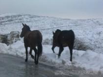 mules-snow